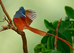 Chris-Krog-Paradise-Flycatcher