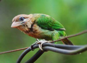 Green-barbet